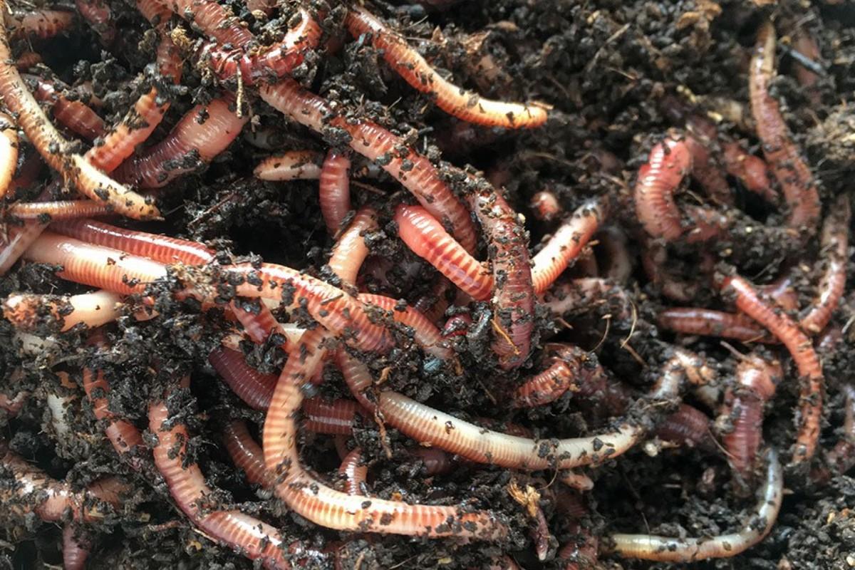 gusanos de tierra