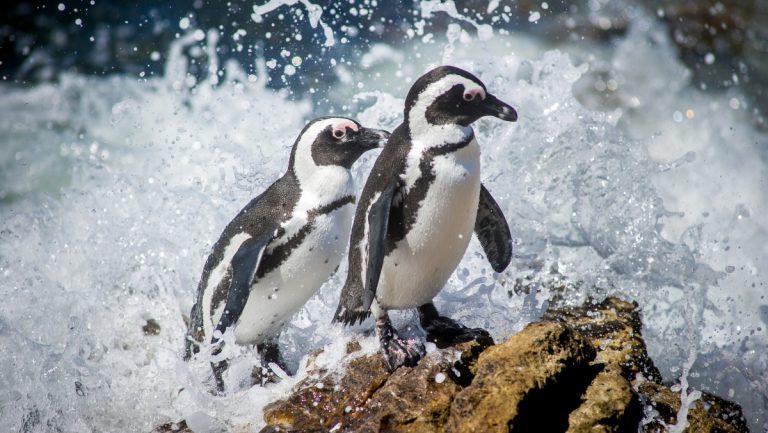 Pingüino Atacado Por Abeja