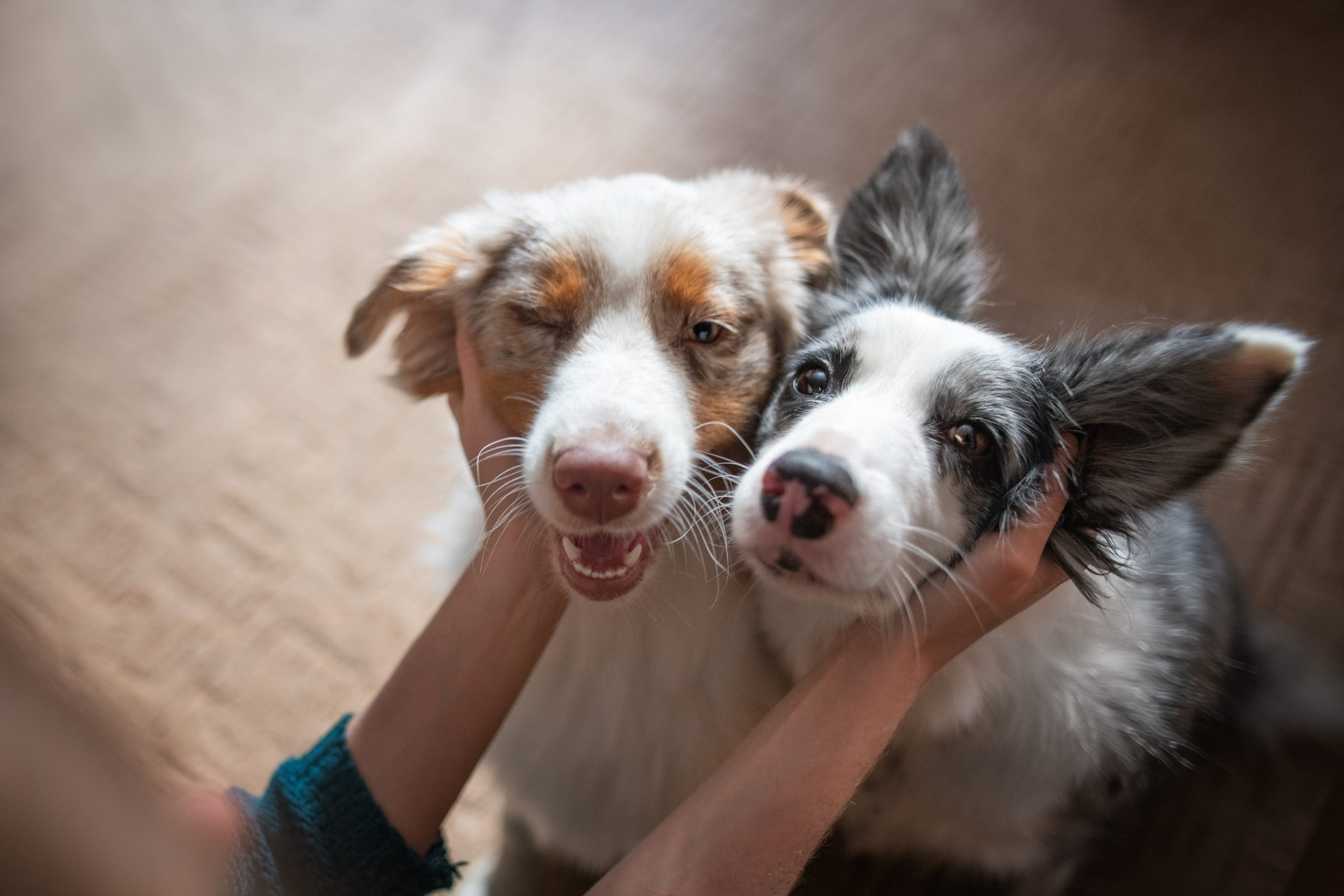 Two Happy Border Collies Being Pet By Owner,Poland
